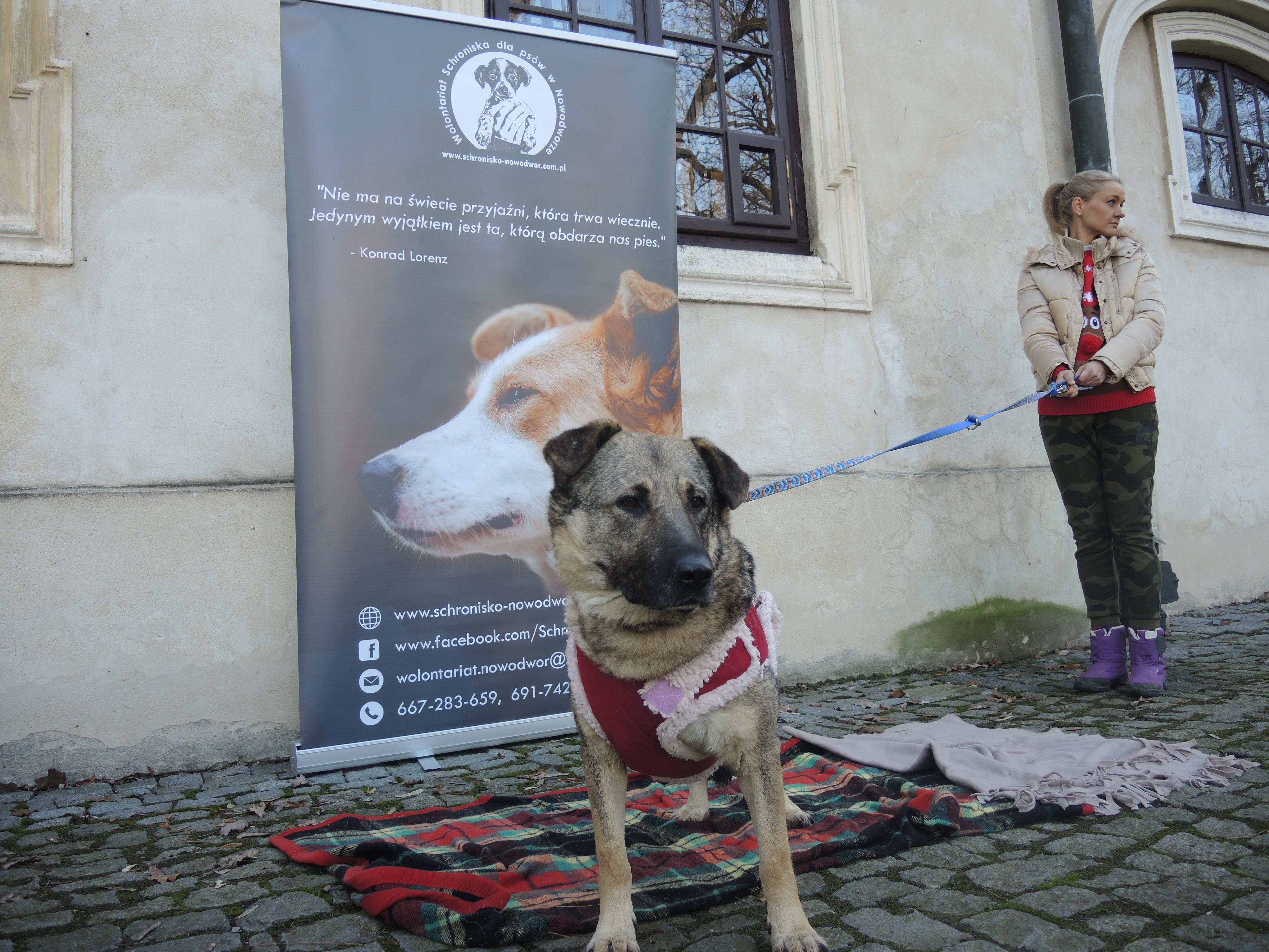 Fotografia. Duży, beżowo-czarny pies, z ciemniejszymi uszami i pyskiem, ubrany w czerwony kubraczek z kremowym kożuszkiem trzymany na smyczy przez młodą kobietę. Pies stoi na kocu w wielokolorową kratkę, w tle baner z logo Wolontariatu Schroniska dla psów w Nowodworze przedstawiające małego pieska trzymanego w dłoni.